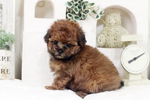 トイプードルの子犬(ID:1255411730)の2枚目の写真/更新日:2017-08-22
