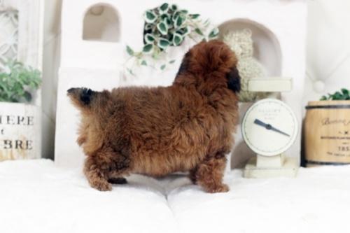 トイプードルの子犬(ID:1255411730)の3枚目の写真/更新日:2021-01-11