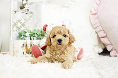 トイプードルの子犬(ID:1255411731)の1枚目の写真/更新日:2020-05-04