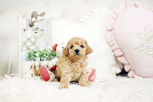 トイプードルの子犬(ID:1255411731)の2枚目の写真/更新日:2017-08-22