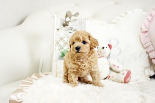 トイプードルの子犬(ID:1255411731)の3枚目の写真/更新日:2017-08-22
