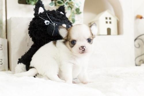 チワワ(ロング)の子犬(ID:1255411732)の1枚目の写真/更新日:2017-08-29