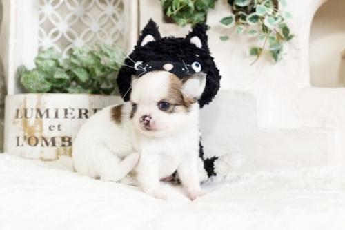 チワワ(ロング)の子犬(ID:1255411732)の2枚目の写真/更新日:2017-08-29