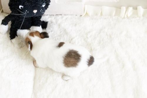 チワワ(ロング)の子犬(ID:1255411732)の3枚目の写真/更新日:2017-08-29