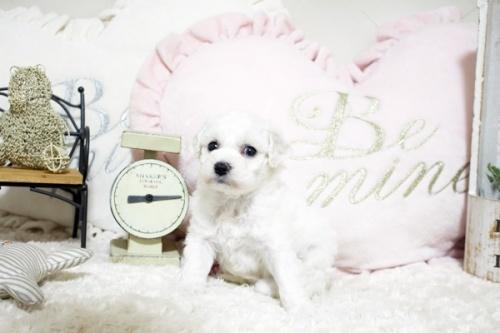 ビションフリーゼの子犬(ID:1255411733)の1枚目の写真/更新日:2017-08-29