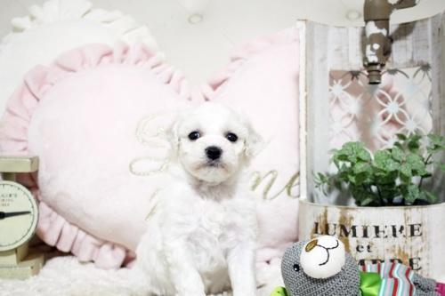 ビションフリーゼの子犬(ID:1255411733)の2枚目の写真/更新日:2017-08-29