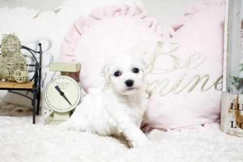 ビションフリーゼの子犬(ID:1255411733)の3枚目の写真/更新日:2020-04-28