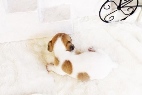 ジャックラッセルテリアの子犬(ID:1255411734)の2枚目の写真/更新日:2017-08-29