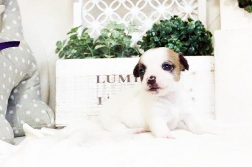 ジャックラッセルテリアの子犬(ID:1255411735)の1枚目の写真/更新日:2017-08-29