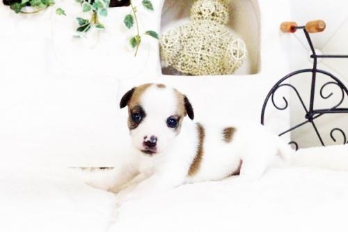 ジャックラッセルテリアの子犬(ID:1255411735)の2枚目の写真/更新日:2017-08-29