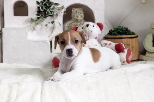 ジャックラッセルテリアの子犬(ID:1255411736)の1枚目の写真/更新日:2017-08-29