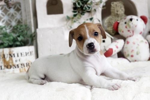 ジャックラッセルテリアの子犬(ID:1255411736)の2枚目の写真/更新日:2017-08-29