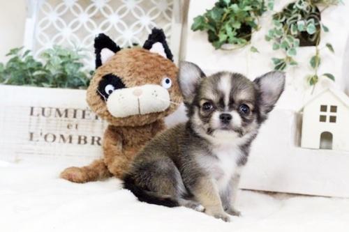 チワワ(ロング)の子犬(ID:1255411737)の1枚目の写真/更新日:2017-08-30