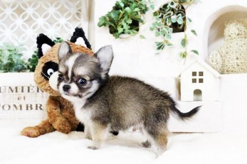 チワワ(ロング)の子犬(ID:1255411737)の2枚目の写真/更新日:2017-08-30