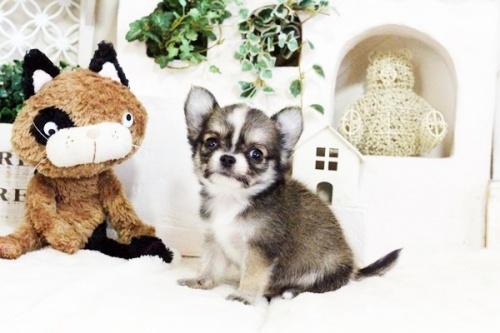 チワワ(ロング)の子犬(ID:1255411737)の3枚目の写真/更新日:2017-08-30