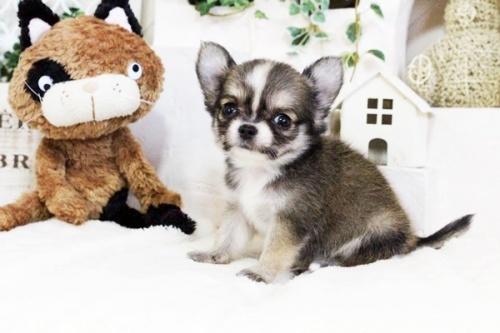 チワワ(ロング)の子犬(ID:1255411737)の4枚目の写真/更新日:2017-08-30