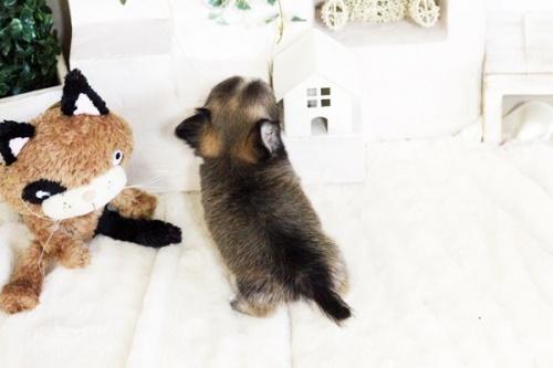 チワワ(ロング)の子犬(ID:1255411737)の5枚目の写真/更新日:2017-08-30