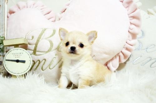 チワワ(ロング)の子犬(ID:1255411738)の1枚目の写真/更新日:2017-08-30