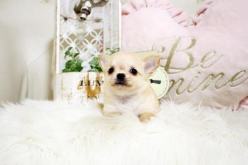 チワワ(ロング)の子犬(ID:1255411738)の2枚目の写真/更新日:2018-08-24
