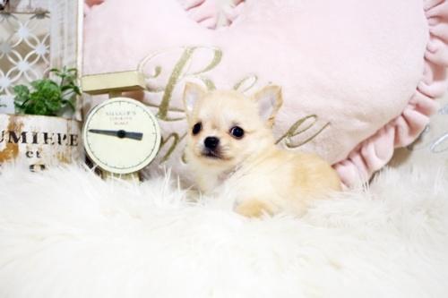 チワワ(ロング)の子犬(ID:1255411738)の3枚目の写真/更新日:2018-08-24