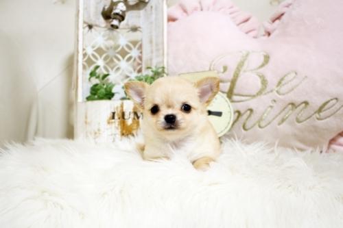 チワワ(ロング)の子犬(ID:1255411738)の4枚目の写真/更新日:2017-08-30