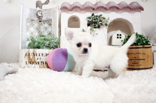 チワワ(ロング)の子犬(ID:1255411738)の5枚目の写真/更新日:2017-08-30