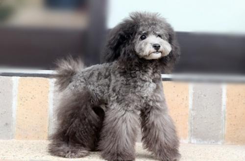 トイプードルの子犬(ID:1255411739)の1枚目の写真/更新日:2017-08-30