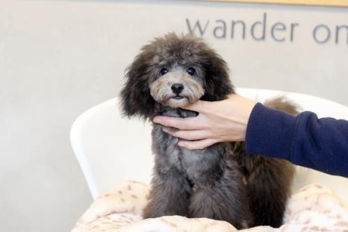 トイプードルの子犬(ID:1255411739)の2枚目の写真/更新日:2017-08-30