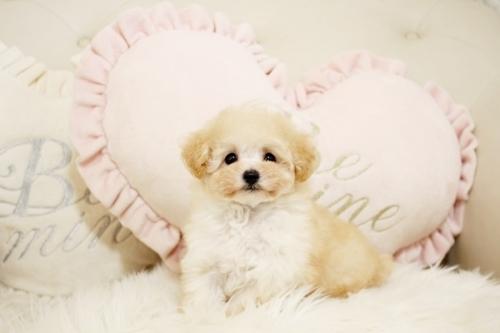 トイプードルの子犬(ID:1255411740)の1枚目の写真/更新日:2017-09-06