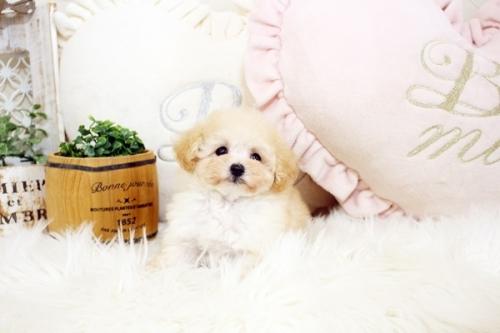 トイプードルの子犬(ID:1255411740)の2枚目の写真/更新日:2017-09-06
