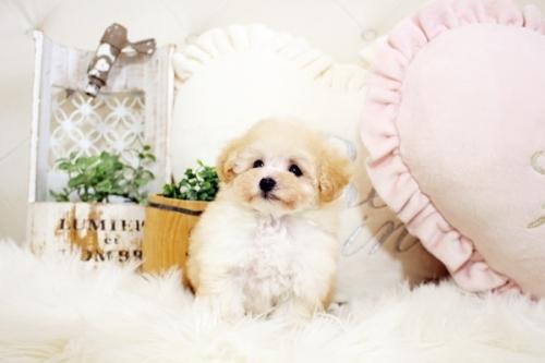 トイプードルの子犬(ID:1255411740)の3枚目の写真/更新日:2017-09-06