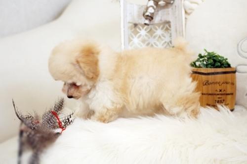 トイプードルの子犬(ID:1255411740)の4枚目の写真/更新日:2017-09-06