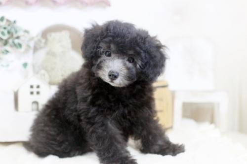 トイプードルの子犬(ID:1255411741)の1枚目の写真/更新日:2017-10-10