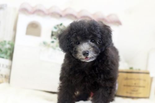 トイプードルの子犬(ID:1255411741)の2枚目の写真/更新日:2017-10-10
