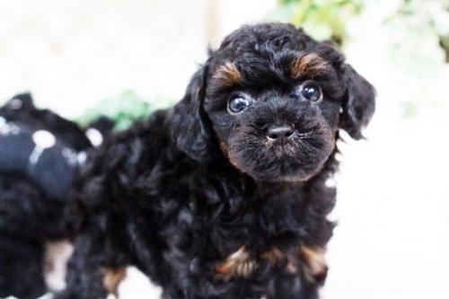 トイプードルの子犬(ID:1255411742)の1枚目の写真/更新日:2017-09-07