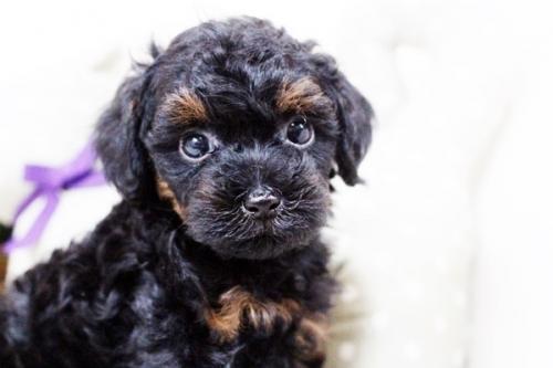 トイプードルの子犬(ID:1255411742)の3枚目の写真/更新日:2017-09-07