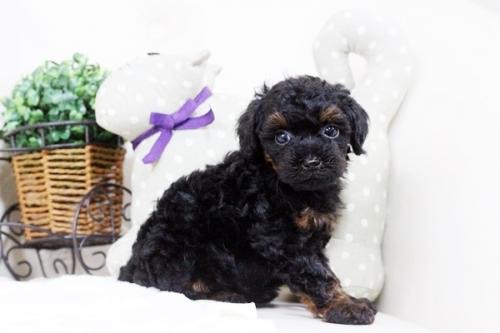 トイプードルの子犬(ID:1255411742)の4枚目の写真/更新日:2017-09-07