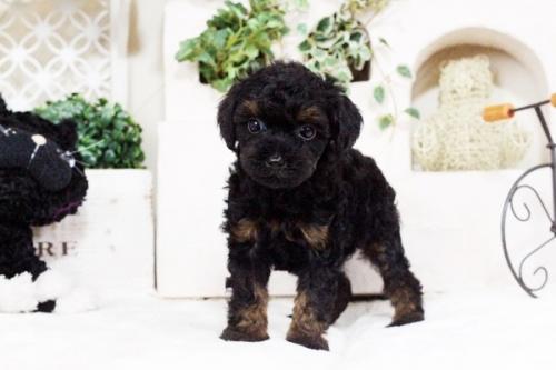 トイプードルの子犬(ID:1255411742)の5枚目の写真/更新日:2017-09-07