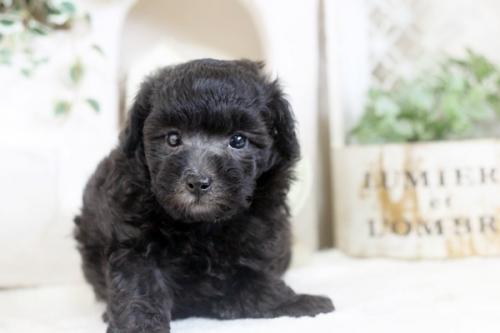 トイプードルの子犬(ID:1255411743)の1枚目の写真/更新日:2017-09-07