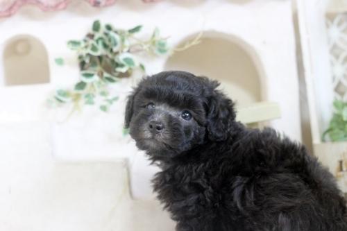 トイプードルの子犬(ID:1255411743)の2枚目の写真/更新日:2017-09-07