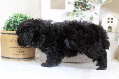 トイプードルの子犬(ID:1255411743)の3枚目の写真/更新日:2017-09-07