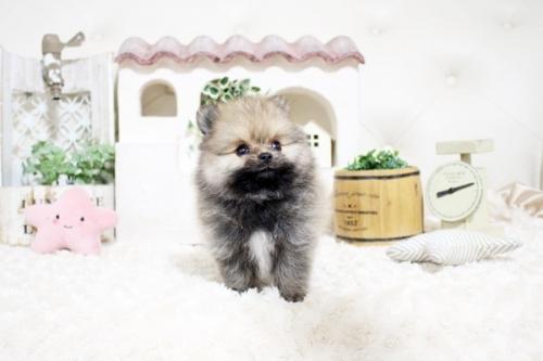 ポメラニアンの子犬(ID:1255411744)の1枚目の写真/更新日:2017-09-12