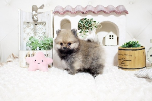 ポメラニアンの子犬(ID:1255411744)の3枚目の写真/更新日:2021-09-08