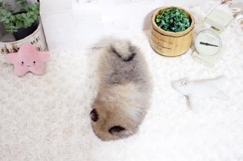 ポメラニアンの子犬(ID:1255411744)の4枚目の写真/更新日:2021-09-08