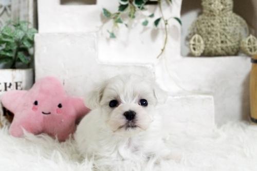マルチーズの子犬(ID:1255411745)の1枚目の写真/更新日:2020-12-21