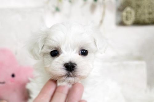 マルチーズの子犬(ID:1255411745)の2枚目の写真/更新日:2017-09-12