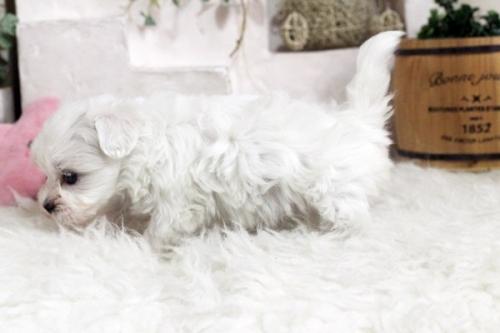 マルチーズの子犬(ID:1255411745)の3枚目の写真/更新日:2020-12-21