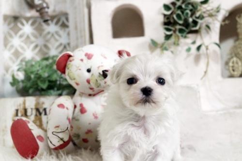 マルチーズの子犬(ID:1255411746)の1枚目の写真/更新日:2017-09-12