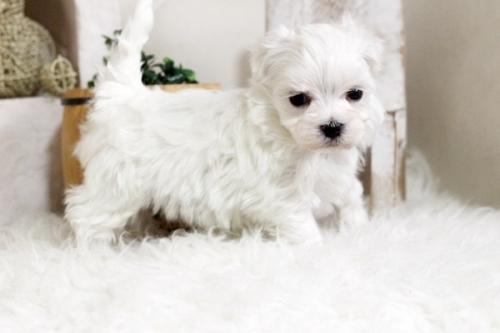 マルチーズの子犬(ID:1255411746)の3枚目の写真/更新日:2017-09-12