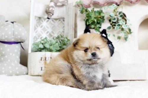 ポメラニアンの子犬(ID:1255411747)の1枚目の写真/更新日:2017-09-12